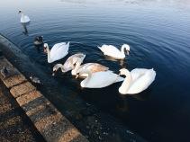 Cisnes en Hyde Park