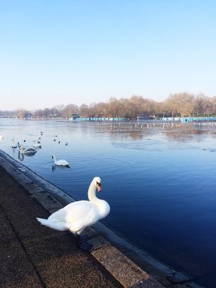 Cisne en Hyde Park