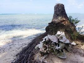 En Isla Puerco usan las caracolas como decoración/At Isla Puerco, Gunas use conches as decoration