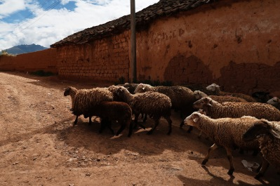 Borregos en nuestro camino a Chinchero/Sheep on our way to Chinchero
