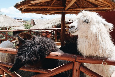 Alpacas listas para rasurarse/Alpacas ready to be shaved